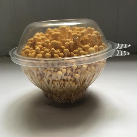 特色芽菇整朵出售 单朵约400g 特殊口感 海底捞热品 黄色金针菇 火锅必备食材