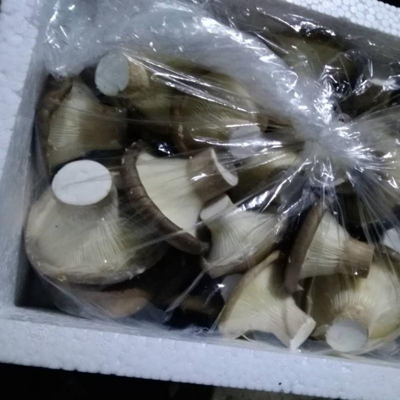 上海本地产猪肚菇 日产150公斤 专供上海批发市场 10件起订 每斤低至8元 价格为到市场价格