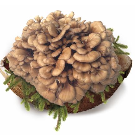 新鲜菌菇 工厂化栽培舞茸 灰树花 口感独特 肉质柔嫩,味如鸡丝,脆似玉兰 江浙沪皖专供 次日达